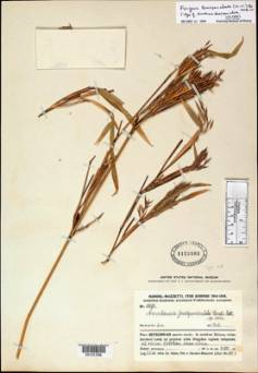 Herbarium bamboo specimens are often difficult to identify