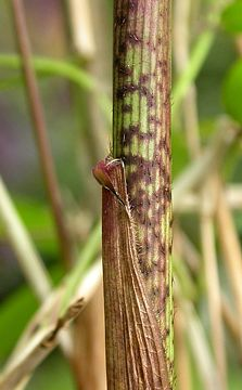 culm sheath on young shoot