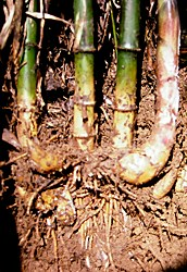 short pachymorph rhizomes