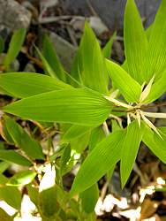 Single leaves
