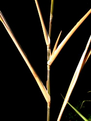Long single branches